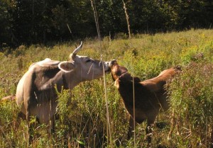 A cow and her calf in the field.